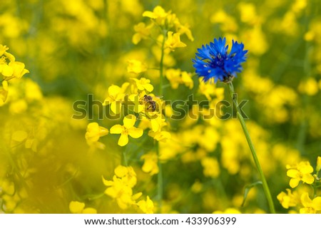 Rapeseed Field With Bright Blue Cornflower and bee in Yellow Background - stock photo