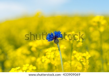 Rapeseed Field With Bright Blue Cornflower in Yellow Background. - stock photo