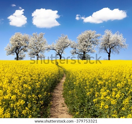 Rapeseed field with parhway and alley of flowering cherry trees - Brassica Napus - plant for green energy and oil industry - stock photo