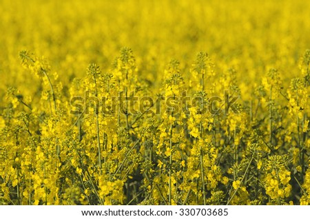 Rapeseed field with yellow flowers, natural agricultural eco spring background - stock photo