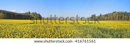 rapeseed fields           - stock photo