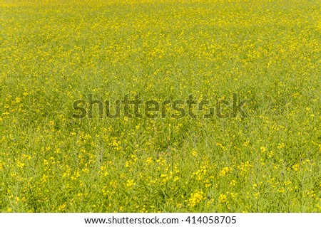 Rapeseed fields in the plain of the River Esla, in Leon Province, Spain - stock photo