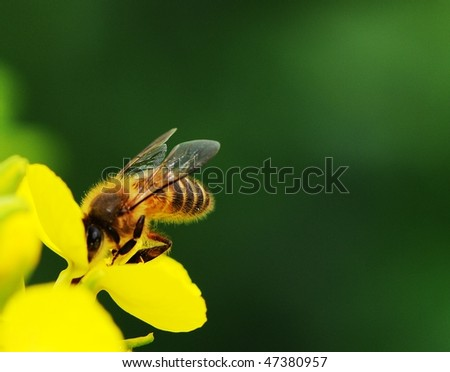 rapeseed flower and bee in sunshine - stock photo