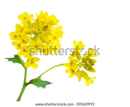 Rapeseed flower branch isolated on white