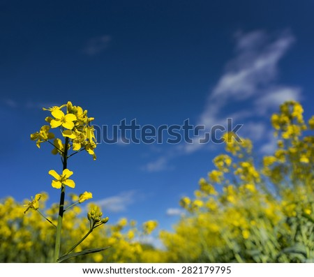 rapeseed flower on bright blue sky on summer day - stock photo