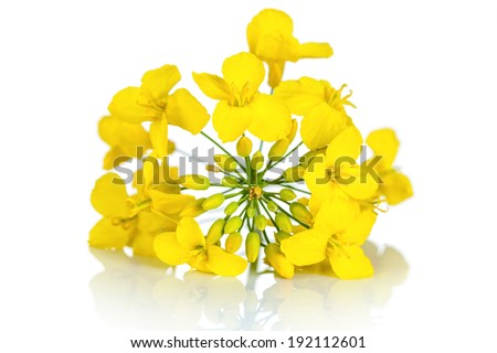 Rapeseed flower on white background. Brassica napus blossom