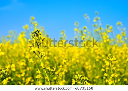 Rapeseed flowers on the blue sky background - stock photo