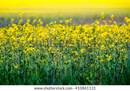 Rapeseed flowers on the field, organic oil and bio-industry. Canola on farmland - agricultural landscape with oilseed flowers in yellow and green colours. - stock photo