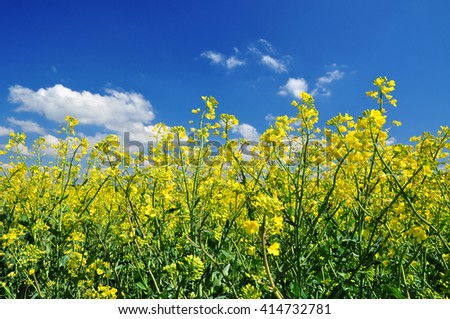 rapeseed oilseed flowers field. - stock photo