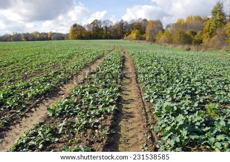 rapeseeds seedling crop farm field in autumn time - stock photo