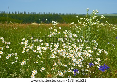 Rapid flowering of daisies plants on a meadow in summertime - stock photo