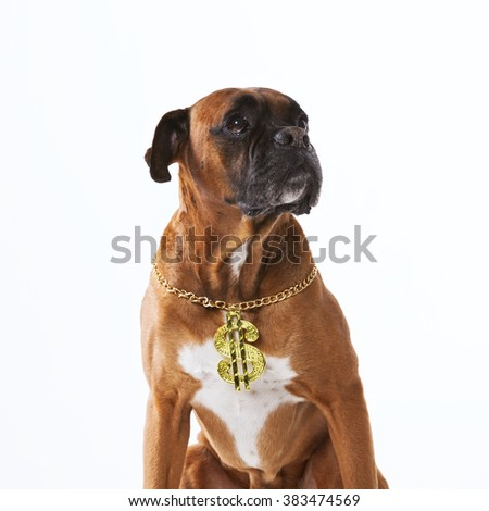 Rapper boxer dog