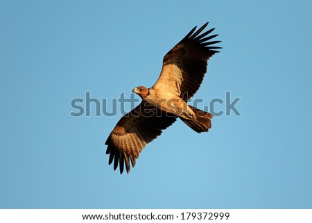 Raptor  in flight against a blue sky, South Africa