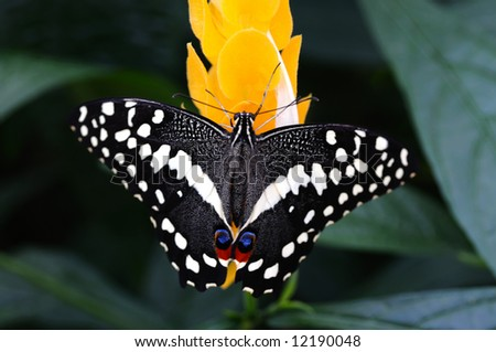 Rare African Papilio Demodocus butterfly on a yellow flower - stock photo