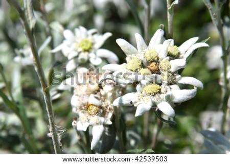Rare alpine flower - Edelweiss or Leontopodium alpinum - stock photo