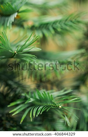 Rare and critically endangered red list prehistoric evergreen pine Wollemia (Araucariaceae wollemi) coniferous tree close up details as background image - stock photo