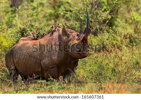Rare big Black Rhino with an amazing horn in the bushes of Masai Mara, Kenya - stock photo