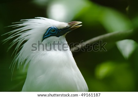 rare bird bali starling - stock photo