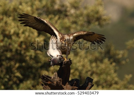 Rare birds - small eagles - Bonelli's eagle  and Booted eagle