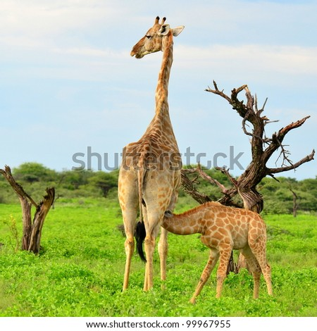 rare breast feeding of young giraffe - stock photo