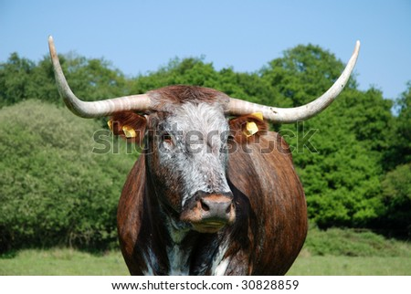 Rare breed English longhorn cow