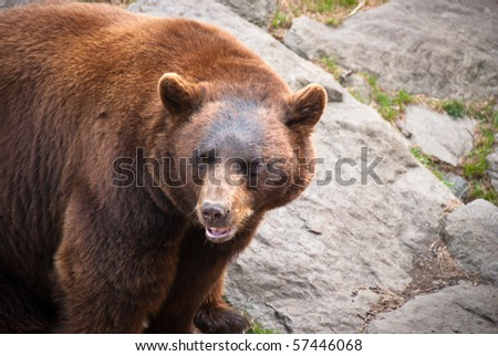 Rare Cinnamon Black Bear Wildlife Animal in North Carolina Mountains - stock photo