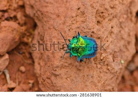Rare, colorful turquoise bug on orange background. Found in Gran Sabana, Venezuela - stock photo