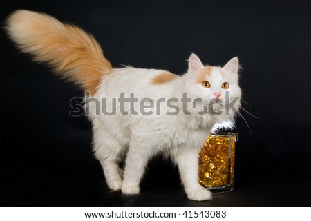 Rare Cream Turkish Van cat on black background with amber glass marbles