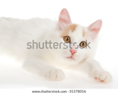 Rare cream Turkish Van cat on white background