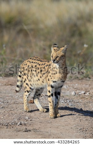 Rare day shot of a Serval cat