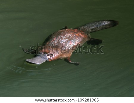 rare & elusive australian duck billed platypus in rainforest creek,eungella nat park, mackay,queensland, australia.exotic looking beaver tailed otter footed venomous mammal tropical jungle creek river - stock photo