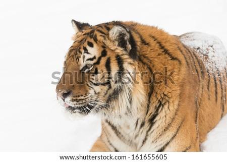 Rare endangered Siberian Tiger - stock photo