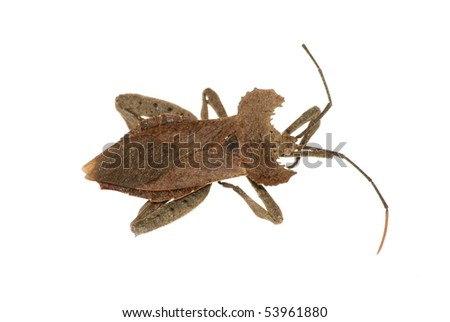 rare insect stink bug isolated in white