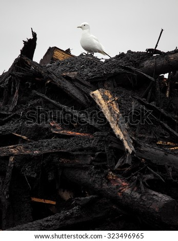 Rare Ivory Gull (Pagophila eburnean) on  top of industrial waste in Arctic - stock photo