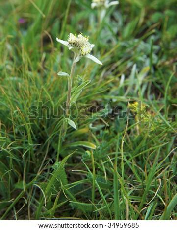 Rare mountain flower an edelweiss - stock photo