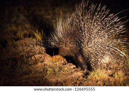 rare nocturnal african porcupine at night Hwange National Park - stock photo