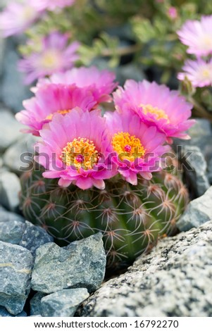Rare occasion of blooming flowers of notocactus in rock garden - stock photo