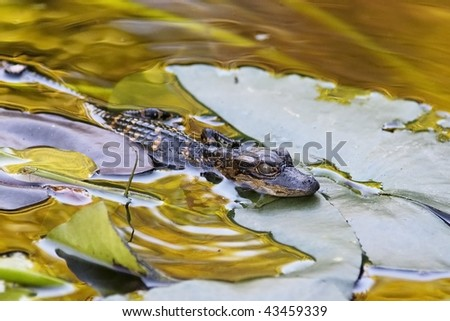 Rare photo of a newborn American Alligator in the Florida Everglades National Park. - stock photo