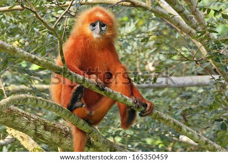 Rare Red or Maroon Leaf Monkey (Presbytis rubicunda) in the jungles of Borneo. This is a beautiful and brightly coloured Langur species. Here, a large and dominant male watches over his troop.