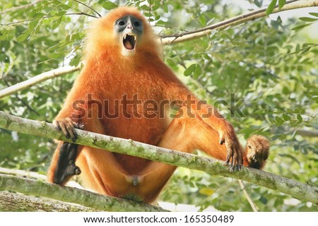 Rare Red or Maroon Leaf Monkey (Presbytis rubicunda) in the jungles of Borneo. This is a beautiful and brightly coloured Langur species. Here, a large and dominant male opens mouth and shows teeth. - stock photo
