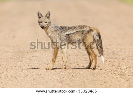 Rare shot of a Side Striped Jackal - stock photo