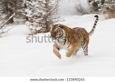 Rare Siberian Tiger - stock photo