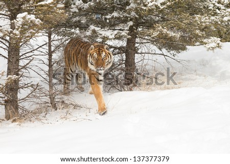 Rare Siberian Tiger in winter scene - stock photo