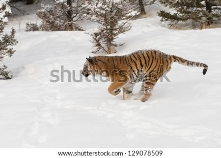 Rare Siberian Tiger running in fresh snow - stock photo