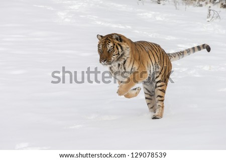 Rare Siberian Tiger running in fresh snow - stock photo