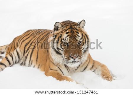 Rare Siberian Tiger running in snow - stock photo