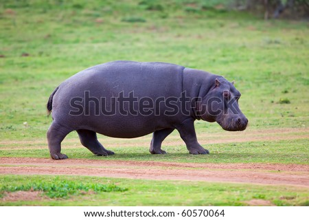 Rare sighting of a Hippo walking out of water - stock photo