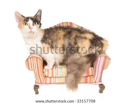 Rare Skookum on miniature couch, on white background - stock photo