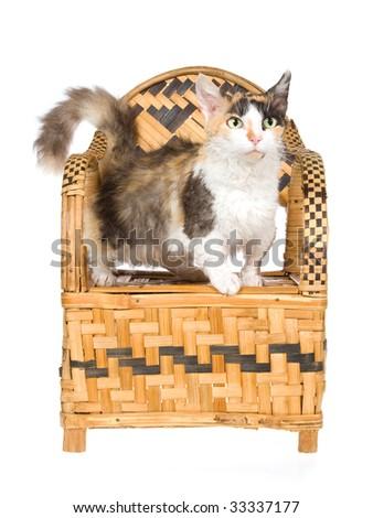 Rare Skookum short leg cat standing on woven bamboo chair, on white background - stock photo