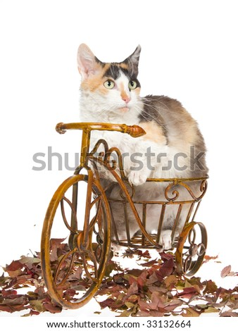 Rare Skookum sitting on brown bike on white background - stock photo